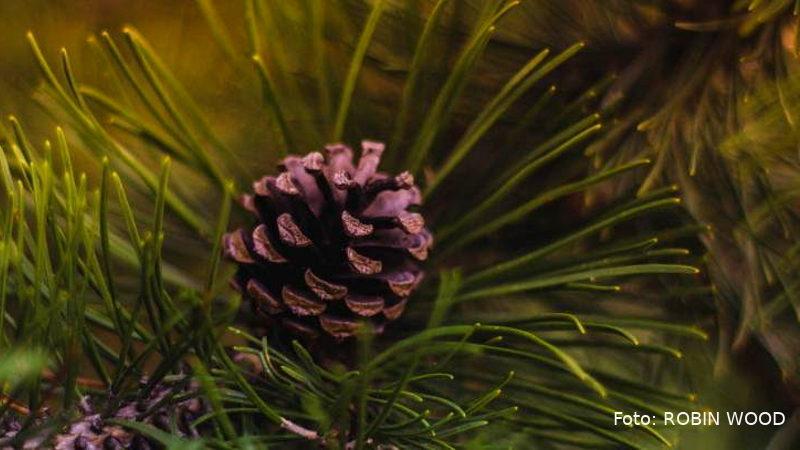 robin-wood-oeko-weihnachtsbaeume