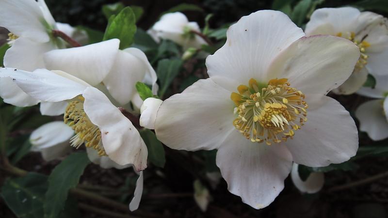 winter-im-botanischen-garten-christrose-sir